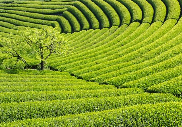 緑茶 煎茶 茶葉
